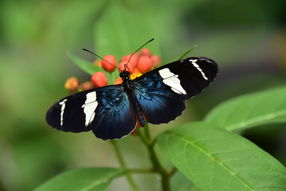 Sappho Longwing Butterfly