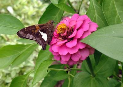 Moth on Zinnia