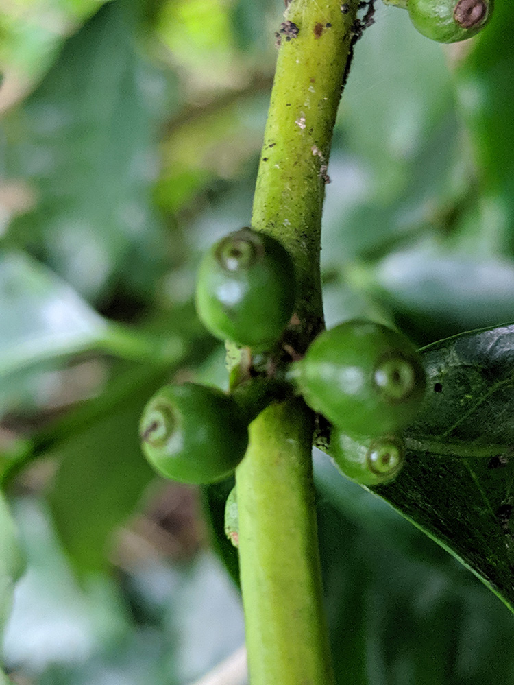 MrChris_coffee_tree_plant_bud