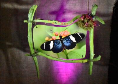 Sappho Longwing Butterfly